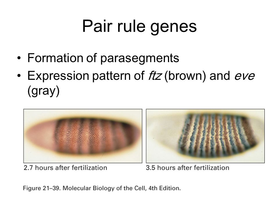 Formation of parasegments Expression pattern of ftz (brown) and eve (gray) Pair rule genes