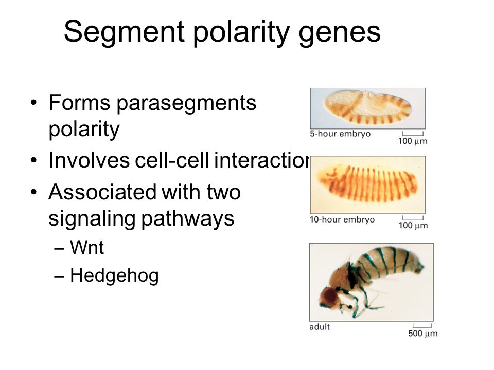 Segment polarity genes Forms parasegments polarity Involves cell-cell interactions Associated with two signaling pathways –Wnt –Hedgehog