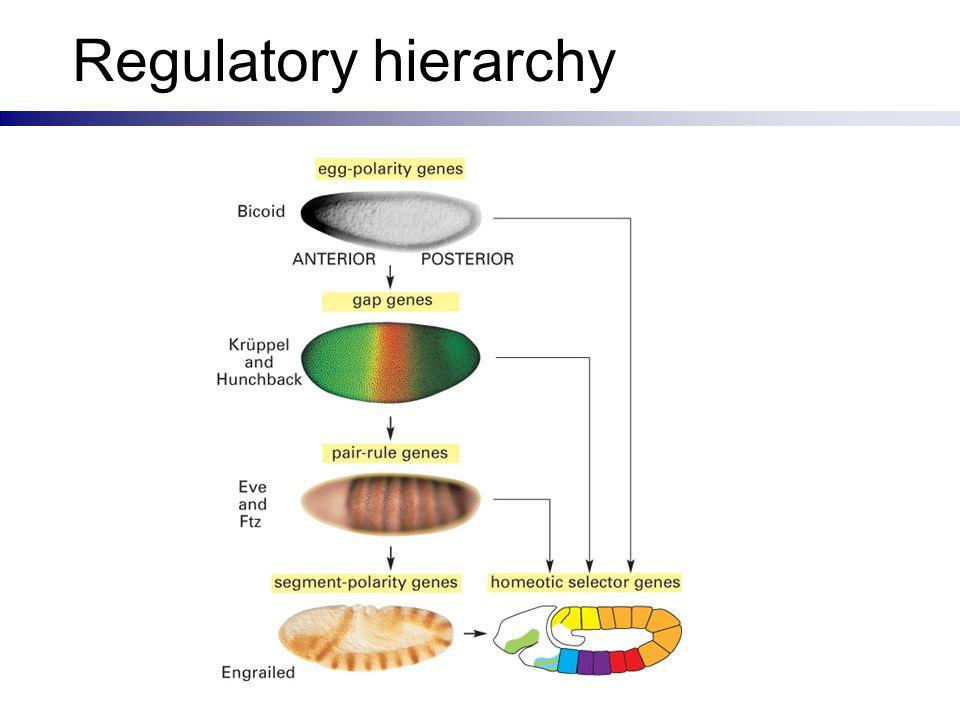 Regulatory hierarchy