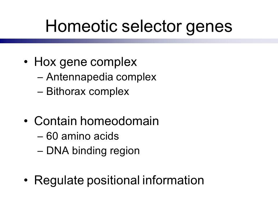 Homeotic selector genes Hox gene complex –Antennapedia complex –Bithorax complex Contain homeodomain –60 amino acids –DNA binding region Regulate posi