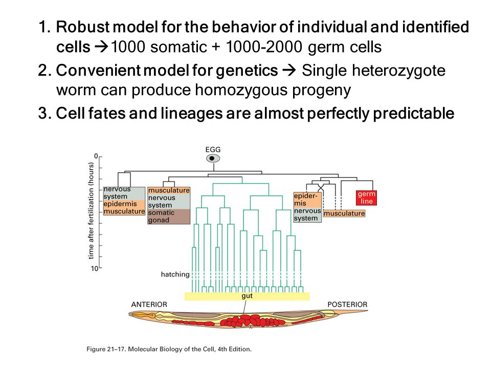 1. Robust model for the behavior of individual and identified cells  1000 somatic + 1000-2000 germ cells 2. Convenient model for genetics  Single he