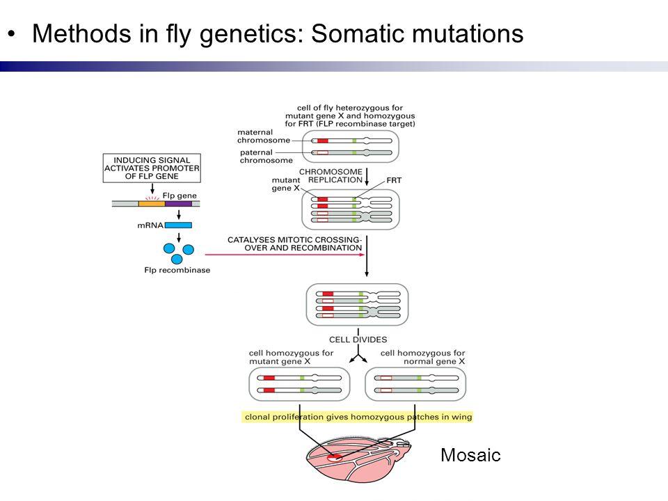 Methods in fly genetics: Somatic mutations Mosaic