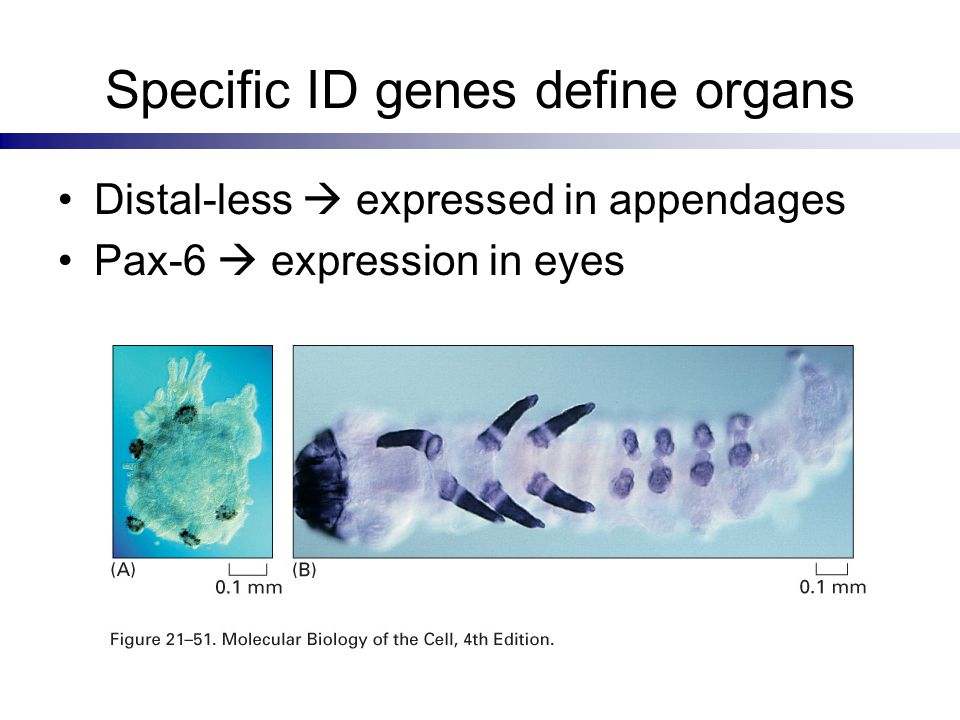 Specific ID genes define organs Distal-less  expressed in appendages Pax-6  expression in eyes