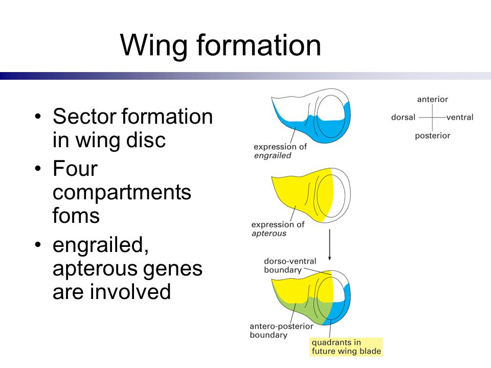 Wing formation Sector formation in wing disc Four compartments foms engrailed, apterous genes are involved