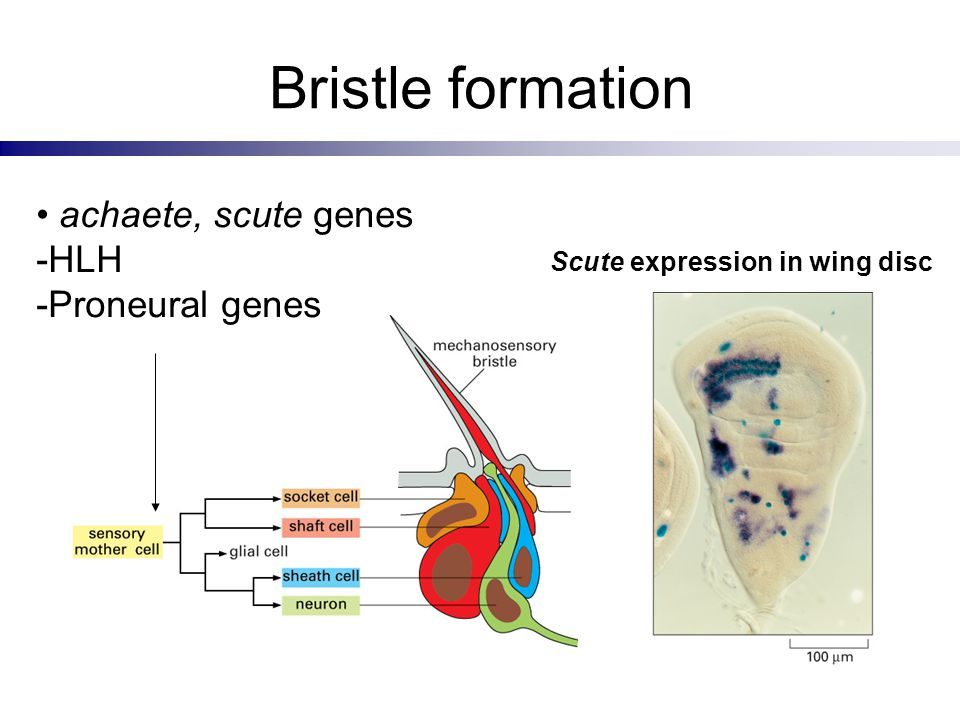 Bristle formation achaete, scute genes -HLH -Proneural genes Scute expression in wing disc
