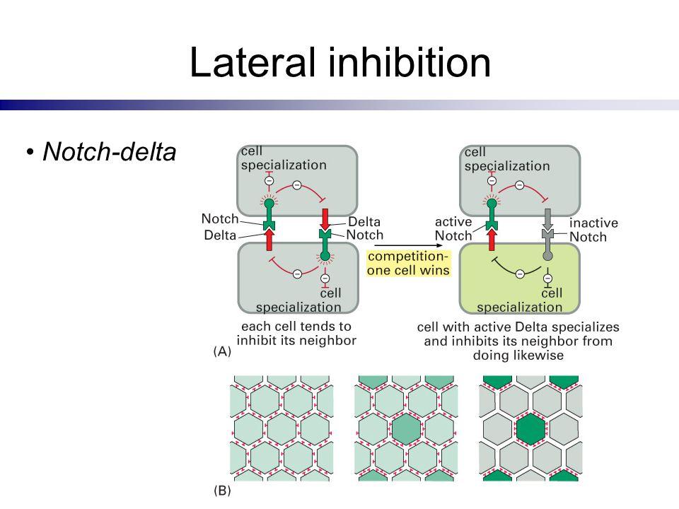 Lateral inhibition Notch-delta