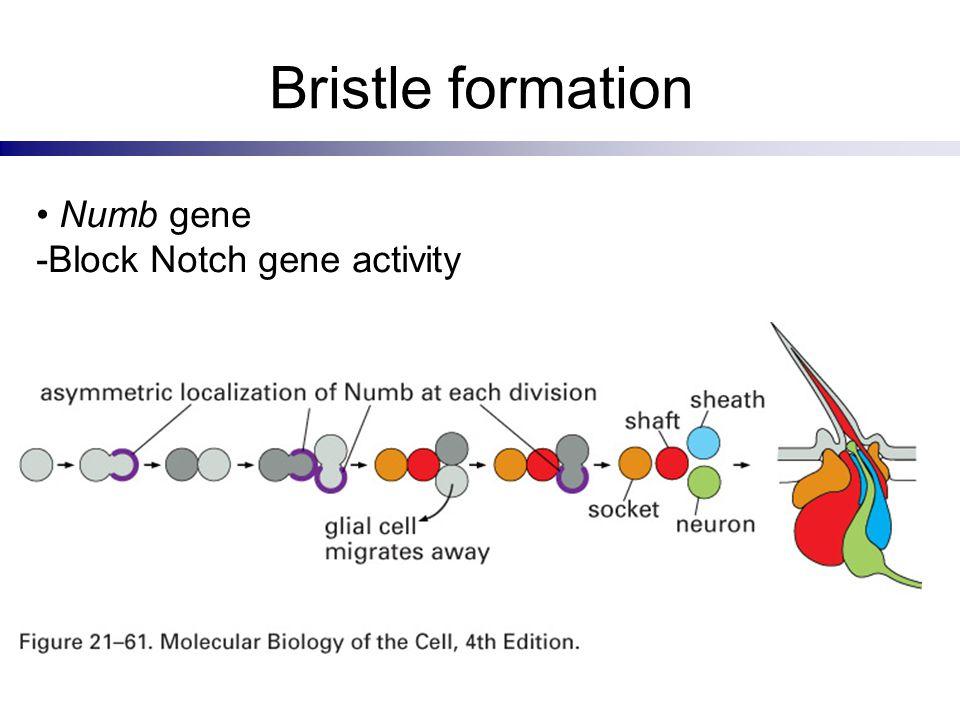 Bristle formation Numb gene -Block Notch gene activity