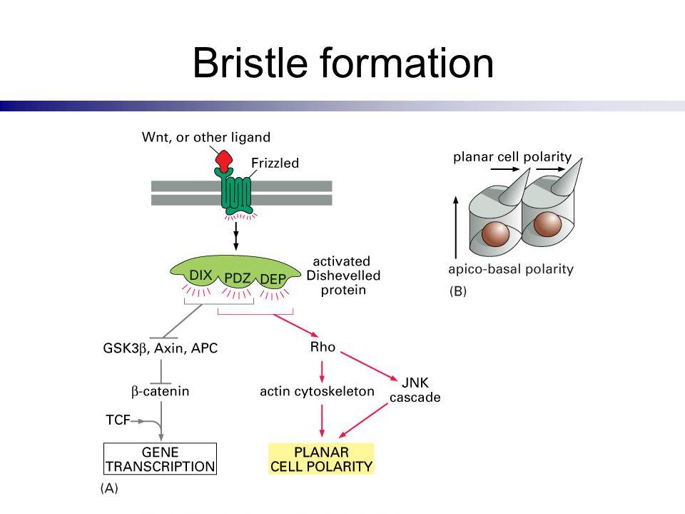 Bristle formation