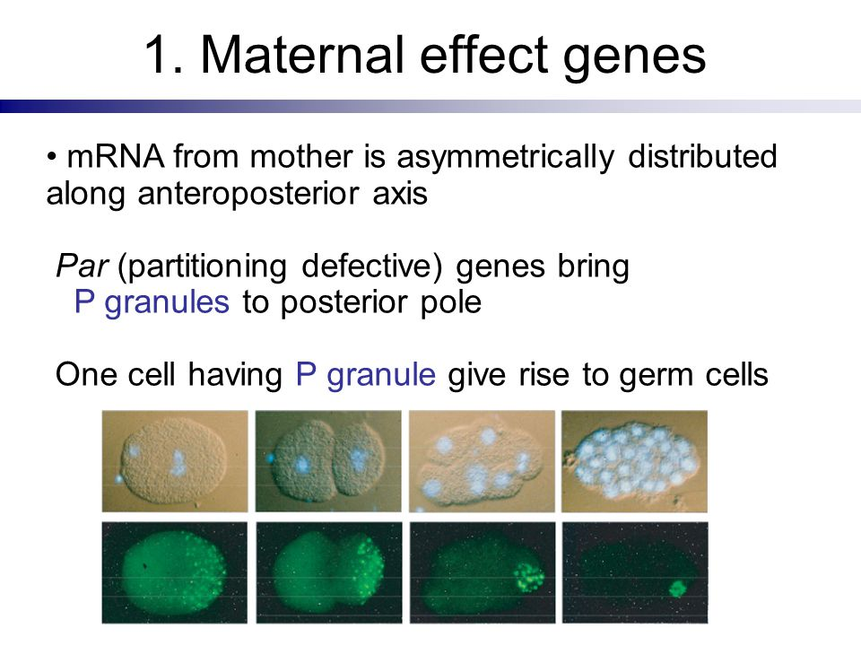 1. Maternal effect genes mRNA from mother is asymmetrically distributed along anteroposterior axis Par (partitioning defective) genes bring P granules