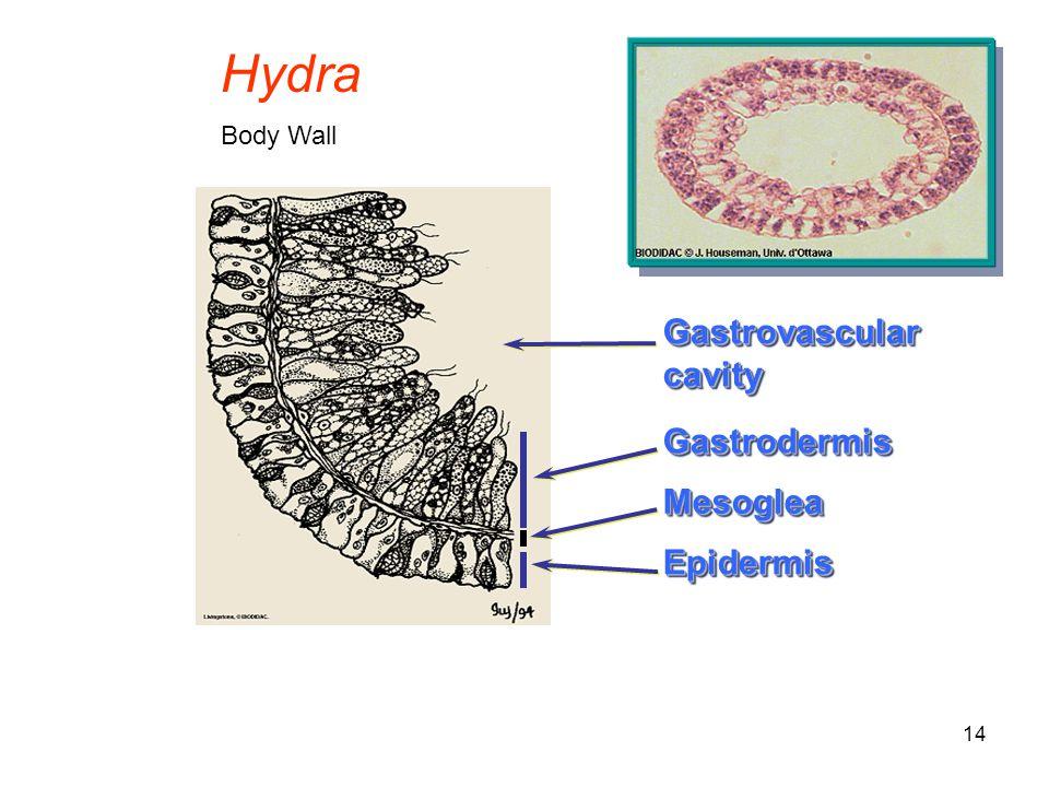 14 GastrovascularcavityGastrovascularcavity EpidermisEpidermis MesogleaMesoglea GastrodermisGastrodermis Hydra Body Wall