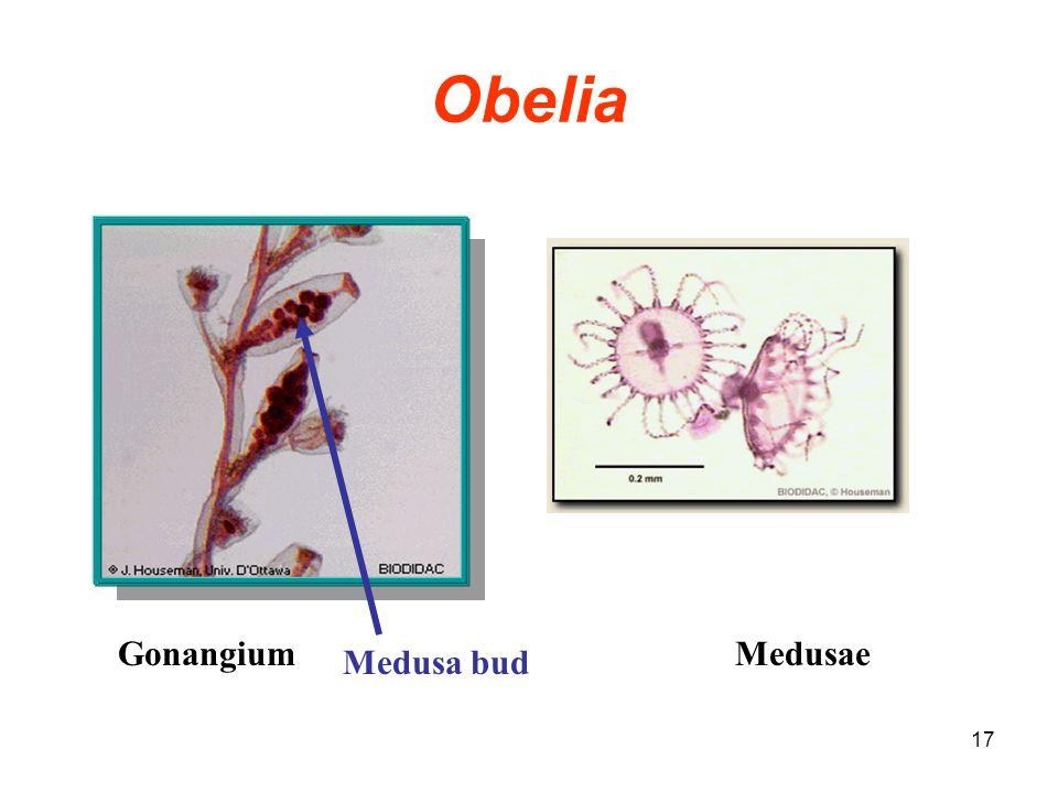 17 Obelia MedusaeGonangium Medusa bud