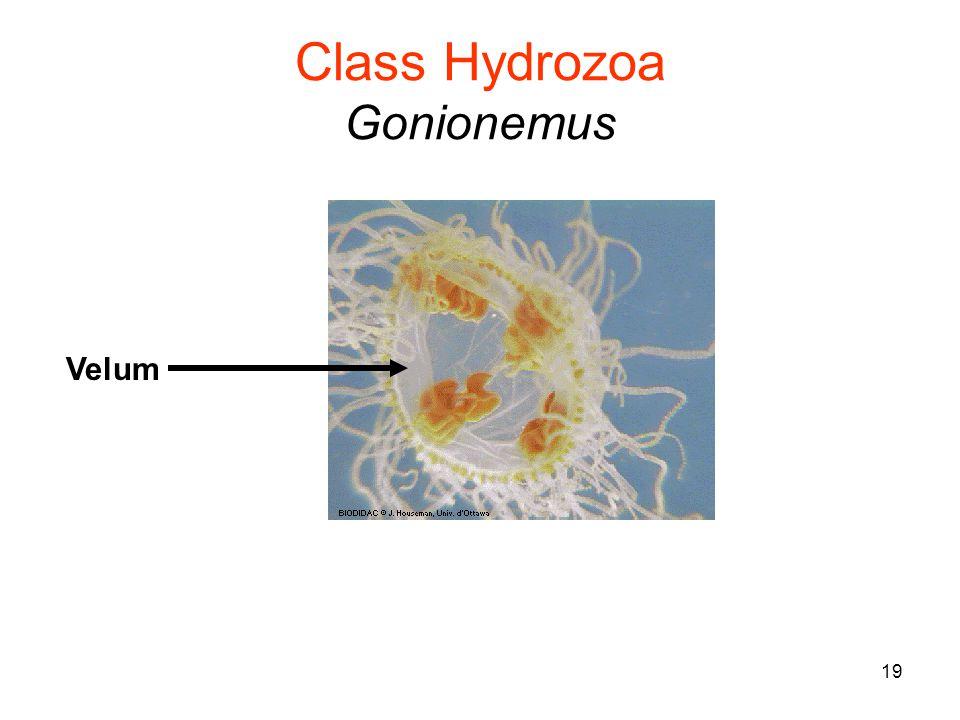 19 Class Hydrozoa Gonionemus Velum