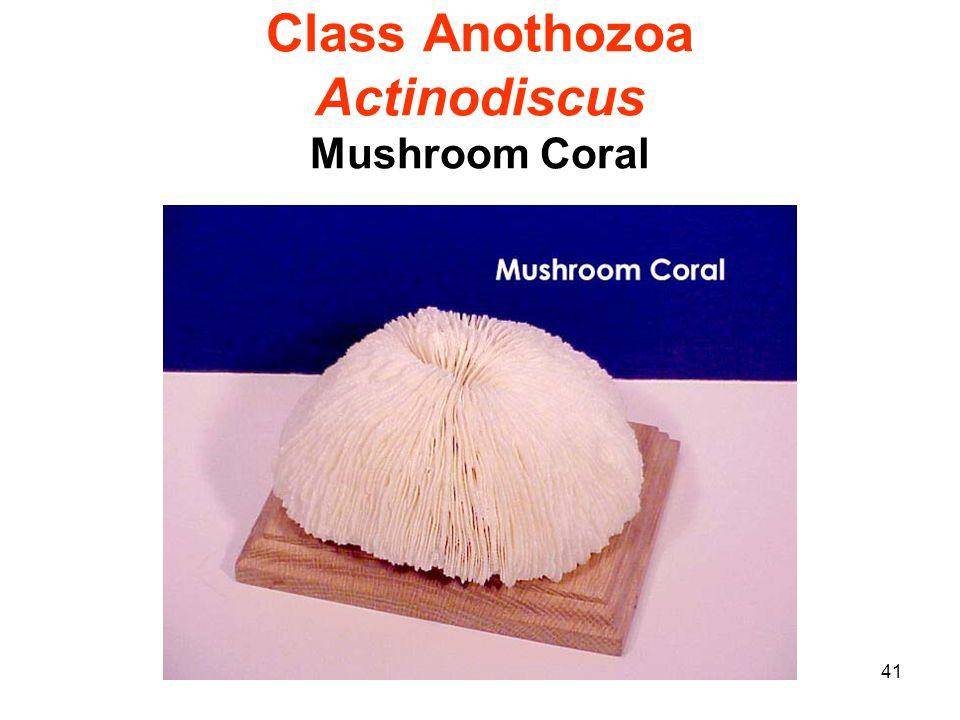 41 Class Anothozoa Actinodiscus Mushroom Coral