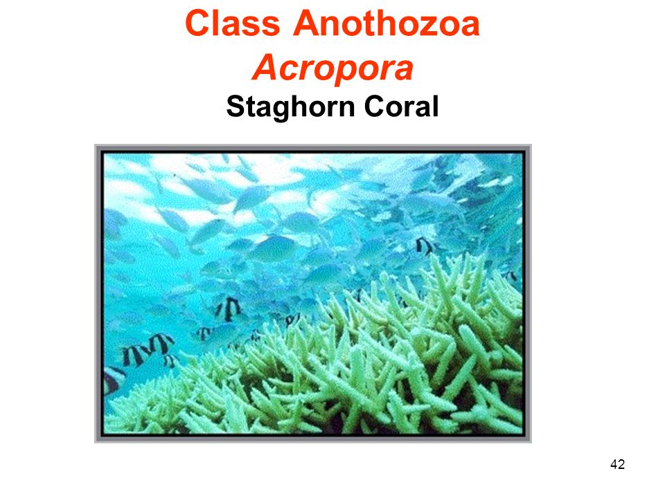 42 Class Anothozoa Acropora Staghorn Coral