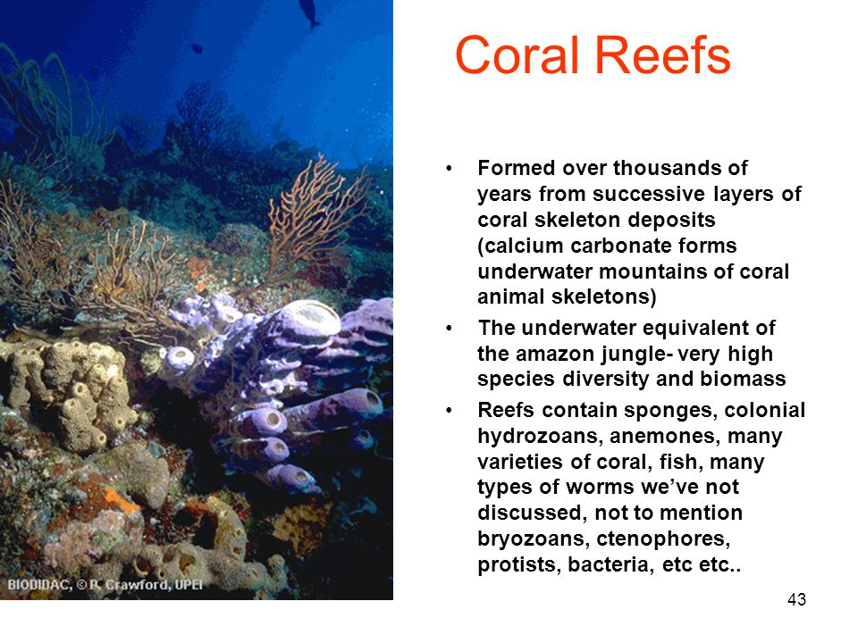 43 Coral Reefs Formed over thousands of years from successive layers of coral skeleton deposits (calcium carbonate forms underwater mountains of coral