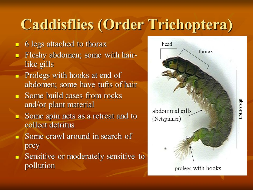 Caddisflies (Order Trichoptera) 6 legs attached to thorax 6 legs attached to thorax Fleshy abdomen; some with hair- like gills Fleshy abdomen; some wi