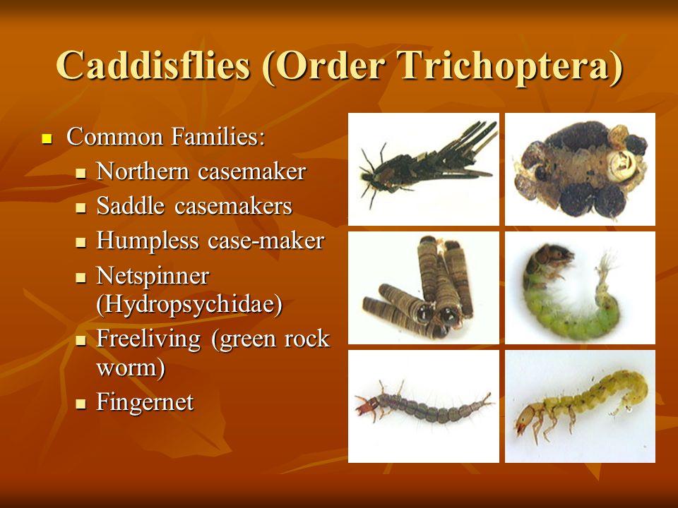 Caddisflies (Order Trichoptera) Common Families: Common Families: Northern casemaker Northern casemaker Saddle casemakers Saddle casemakers Humpless c
