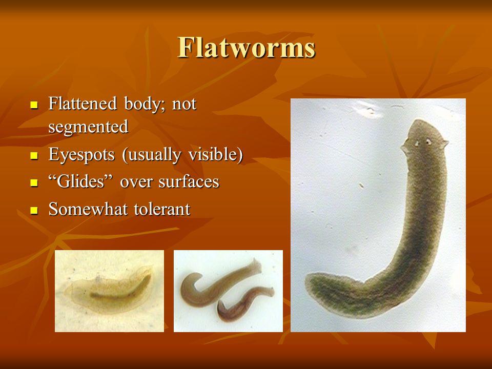 "Flatworms Flattened body; not segmented Flattened body; not segmented Eyespots (usually visible) Eyespots (usually visible) ""Glides"" over surfaces ""Gl"