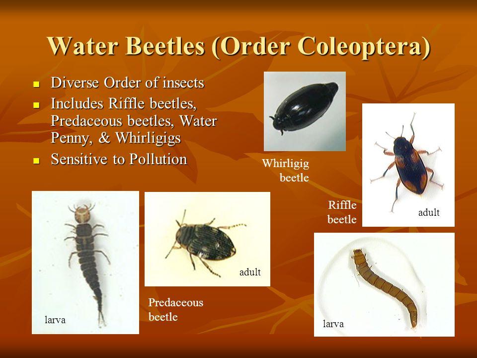 Water Beetles (Order Coleoptera) Diverse Order of insects Diverse Order of insects Includes Riffle beetles, Predaceous beetles, Water Penny, & Whirlig