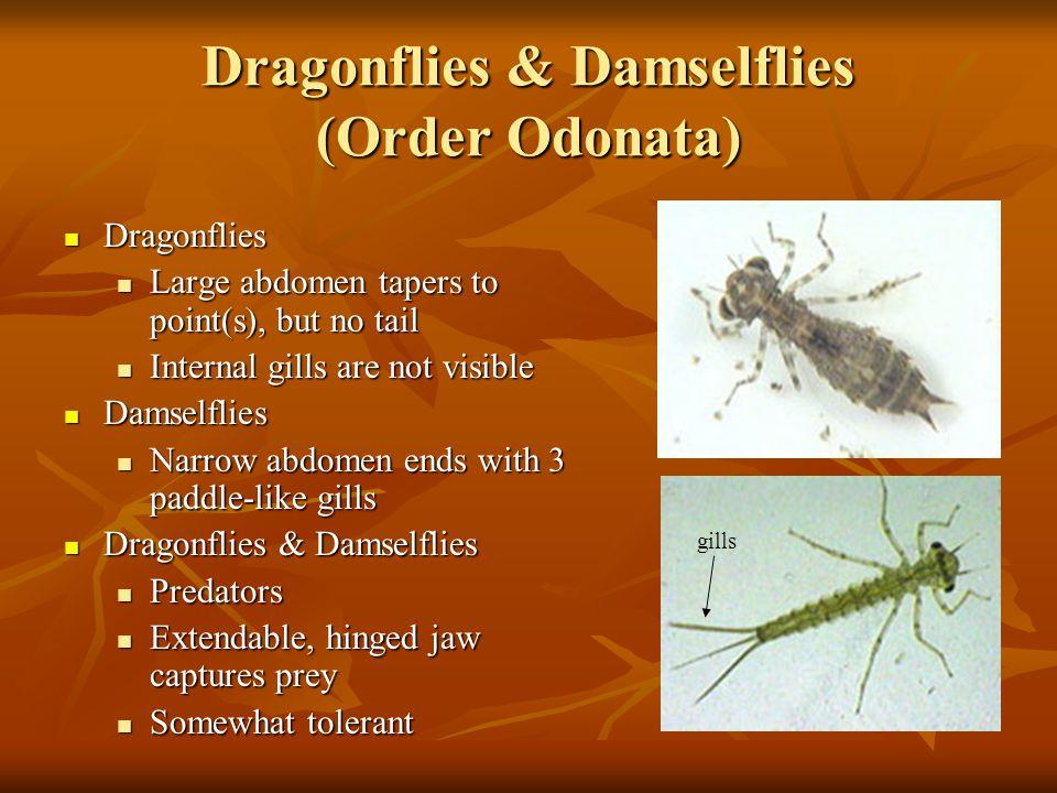 Dragonflies & Damselflies (Order Odonata) Dragonflies Dragonflies Large abdomen tapers to point(s), but no tail Large abdomen tapers to point(s), but