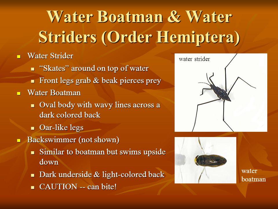 """Water Boatman & Water Striders (Order Hemiptera) Water Strider Water Strider """"Skates"""" around on top of water """"Skates"""" around on top of water Front leg"""