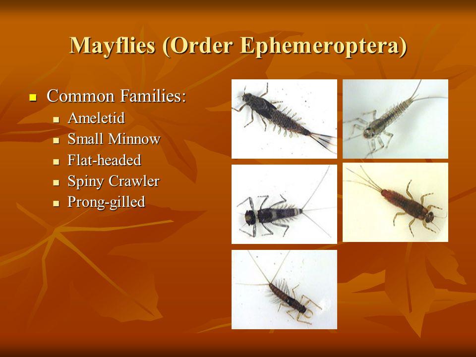 Mayflies (Order Ephemeroptera) Common Families: Common Families: Ameletid Ameletid Small Minnow Small Minnow Flat-headed Flat-headed Spiny Crawler Spi