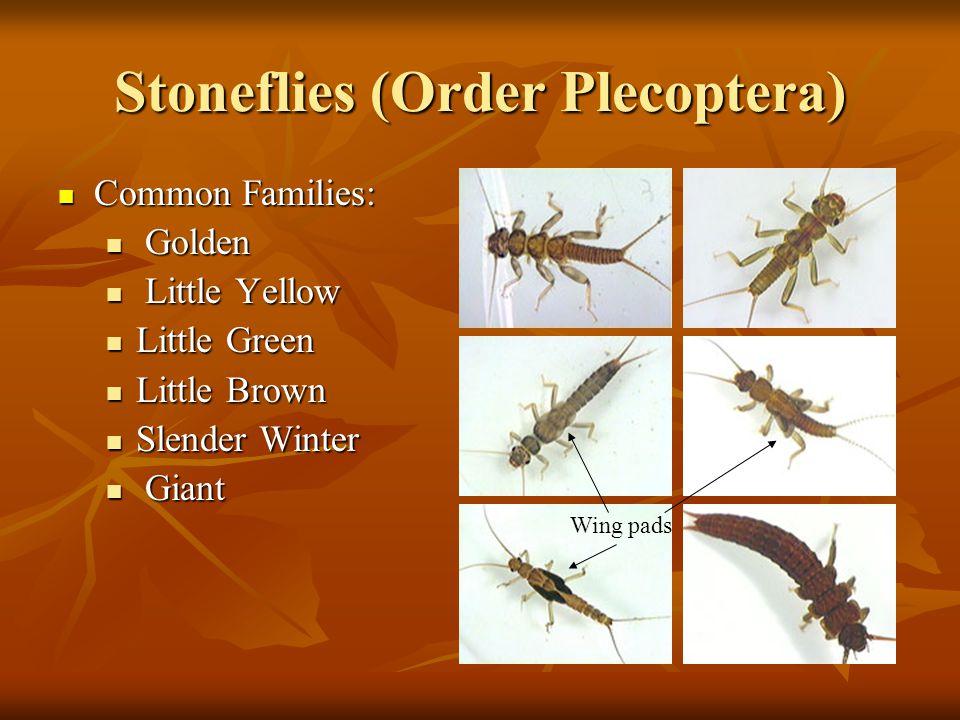 Stoneflies (Order Plecoptera) Common Families: Common Families: Golden Golden Little Yellow Little Yellow Little Green Little Green Little Brown Littl