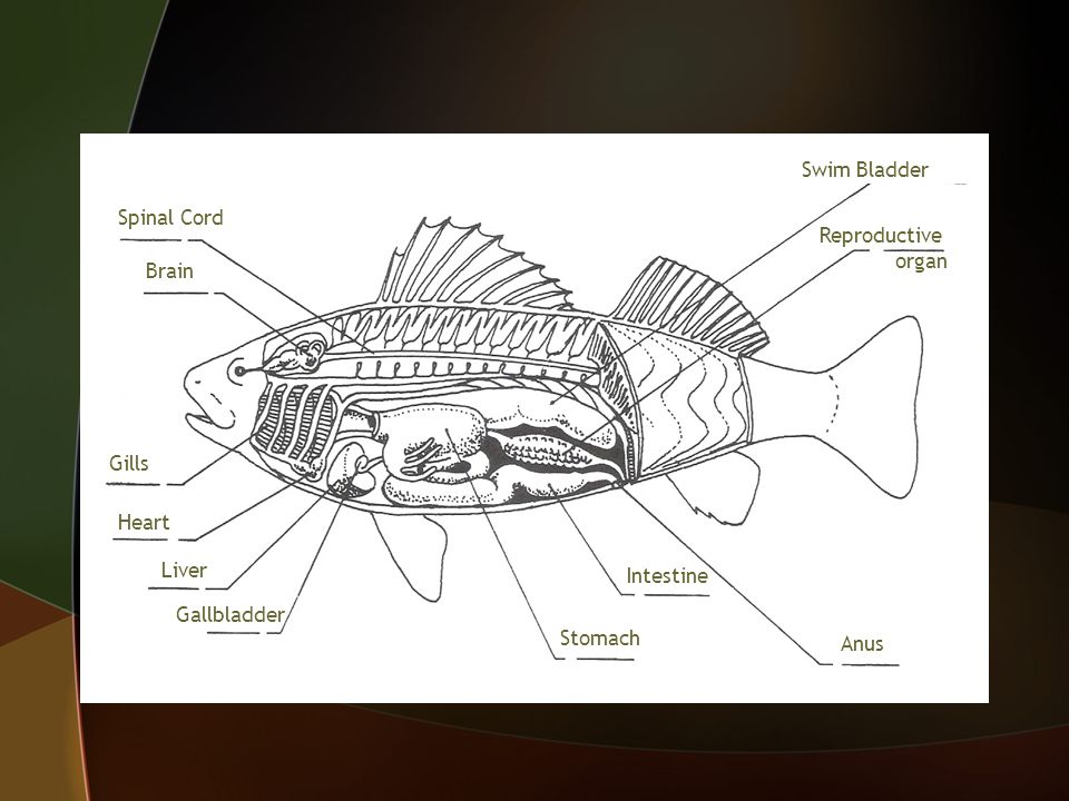 Swim Bladder Gills Brain Spinal Cord Heart Liver Reproductive organ Anus Intestine Stomach Gallbladder