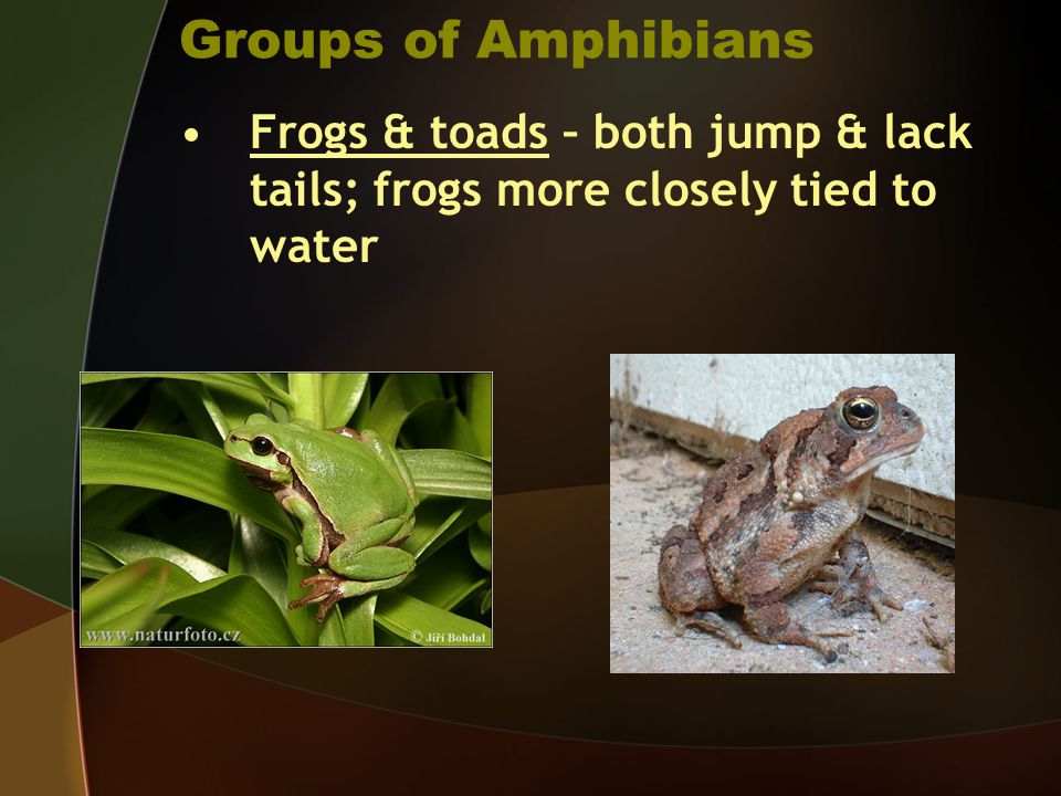 Groups of Amphibians Frogs & toads – both jump & lack tails; frogs more closely tied to water