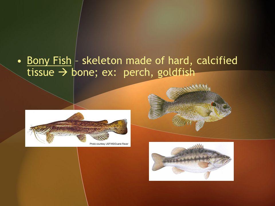 Bony Fish – skeleton made of hard, calcified tissue  bone; ex: perch, goldfish