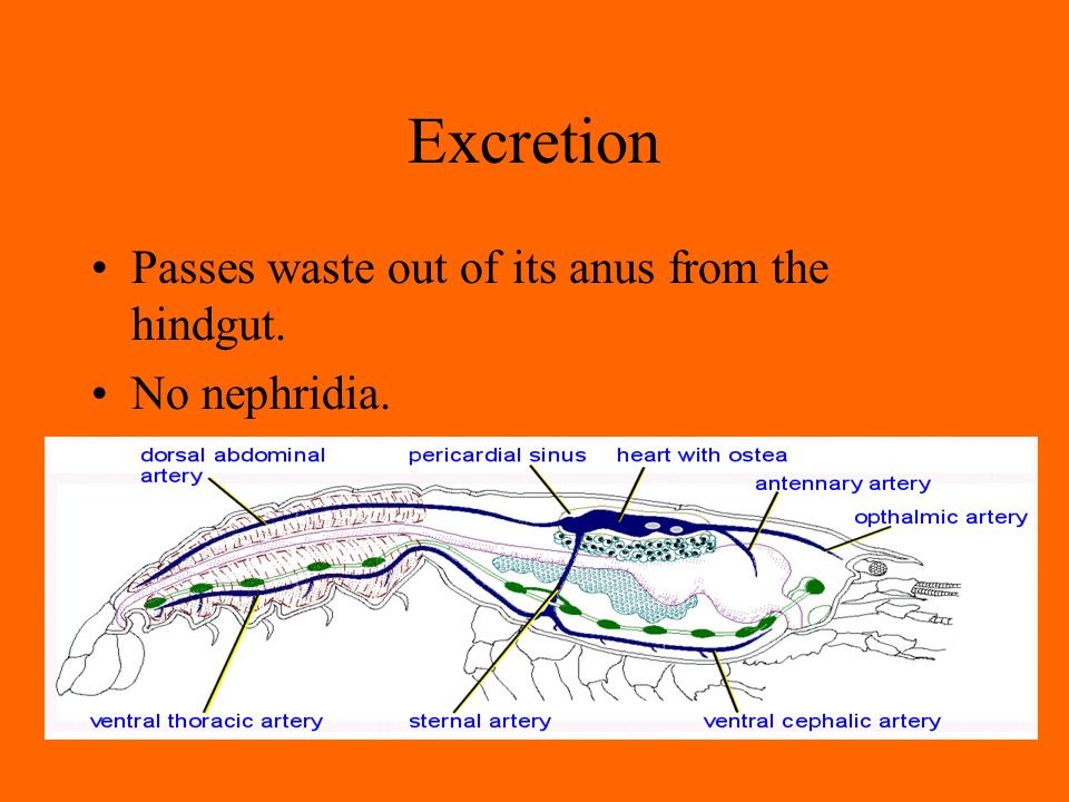 Excretion Passes waste out of its anus from the hindgut. No nephridia.
