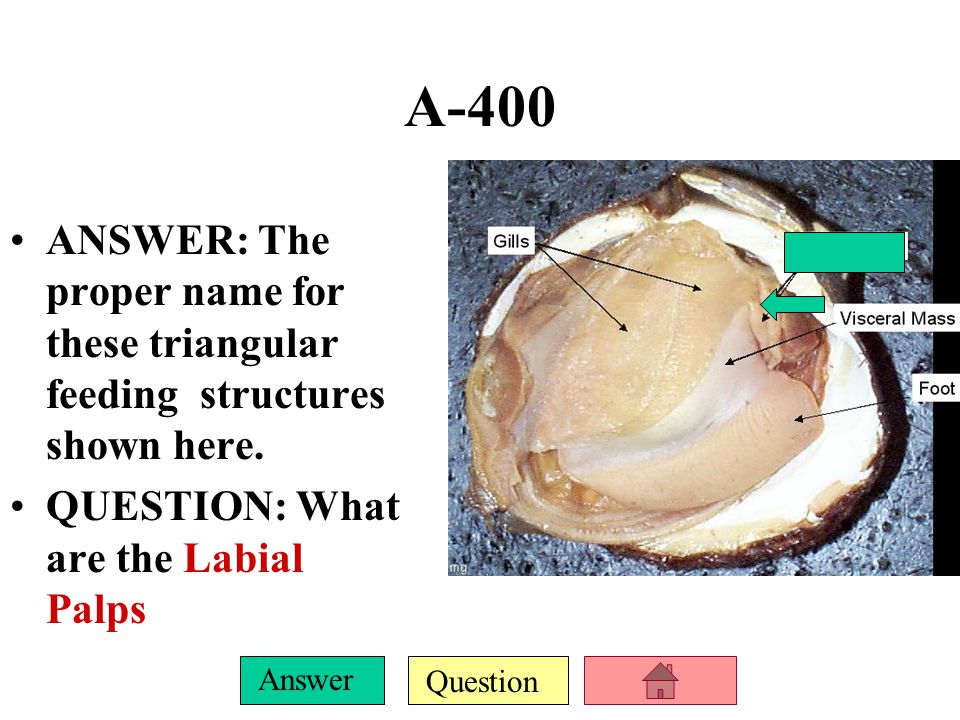 Question Answer A-400 ANSWER: The proper name for these triangular feeding structures shown here.