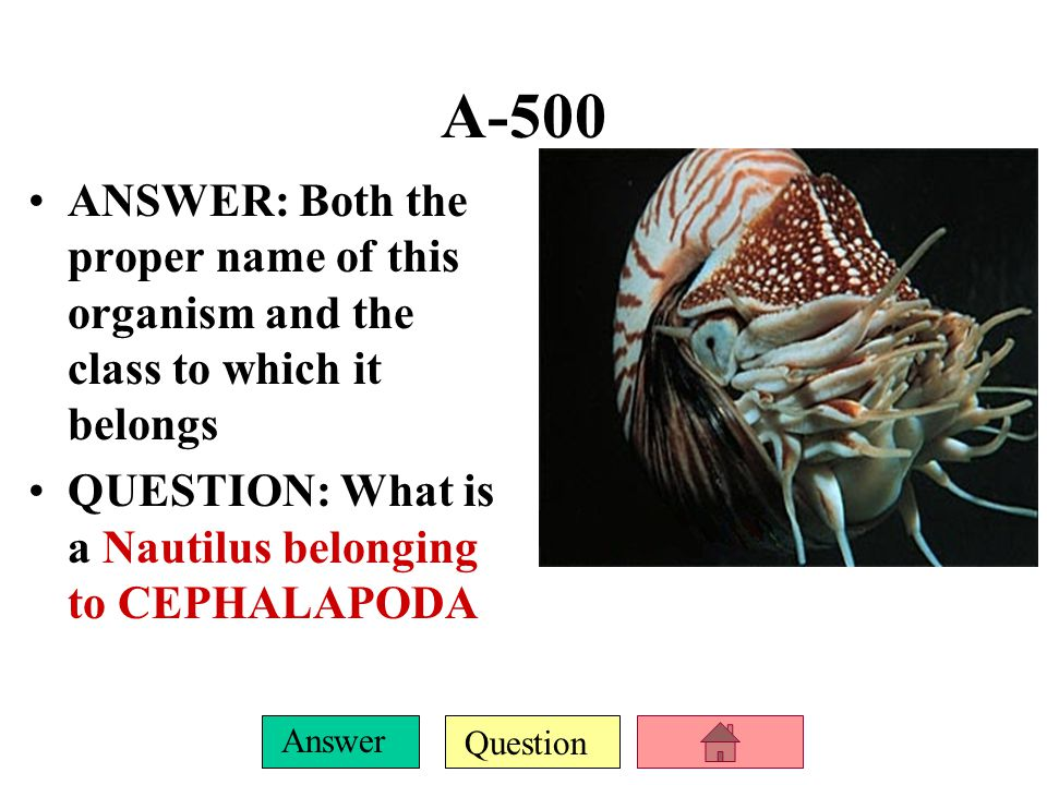 Question Answer A-500 ANSWER: Both the proper name of this organism and the class to which it belongs QUESTION: What is a Nautilus belonging to CEPHALAPODA