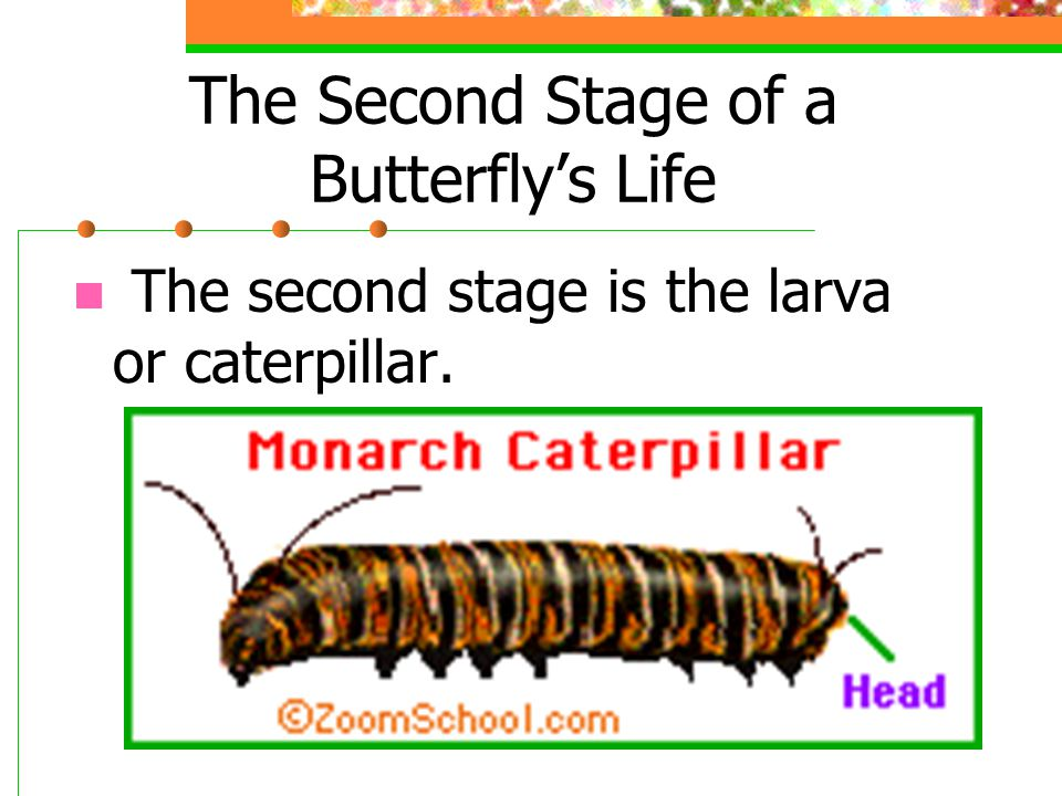 The larva eats constantly and grows quickly.