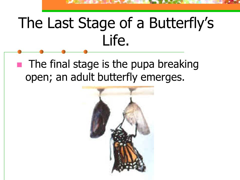 The Last Stage of a Butterfly's Life. The final stage is the pupa breaking open; an adult butterfly emerges.