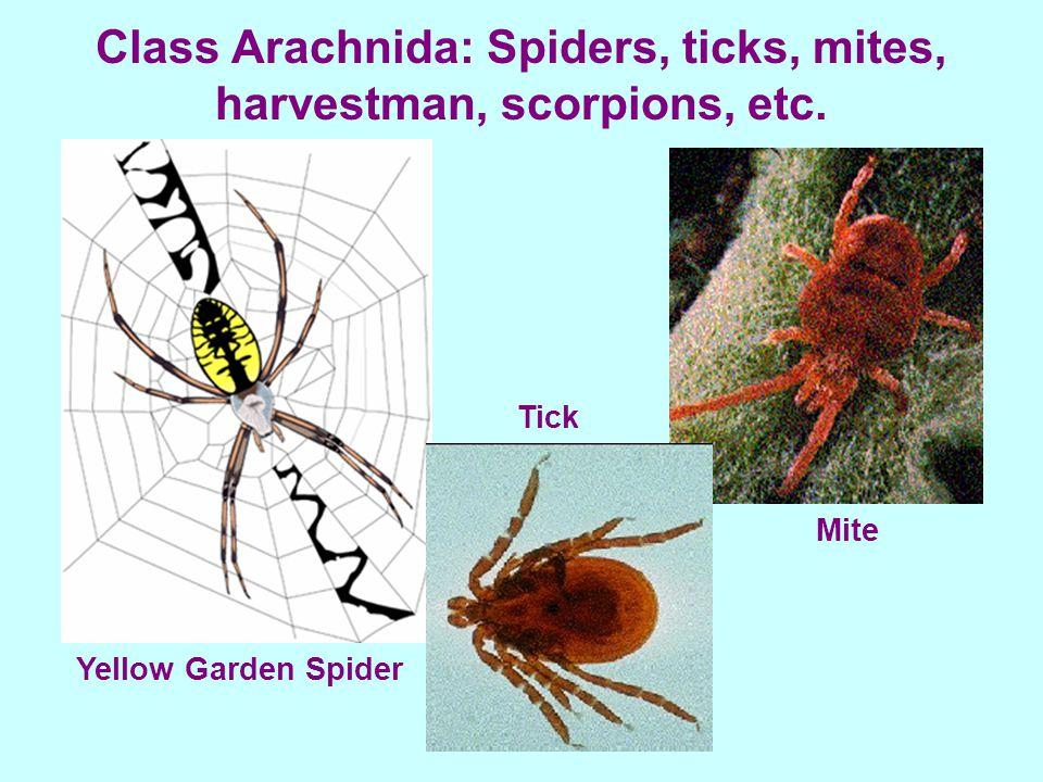 Class Arachnida: Spiders, ticks, mites, harvestman, scorpions, etc. Yellow Garden Spider Tick Mite