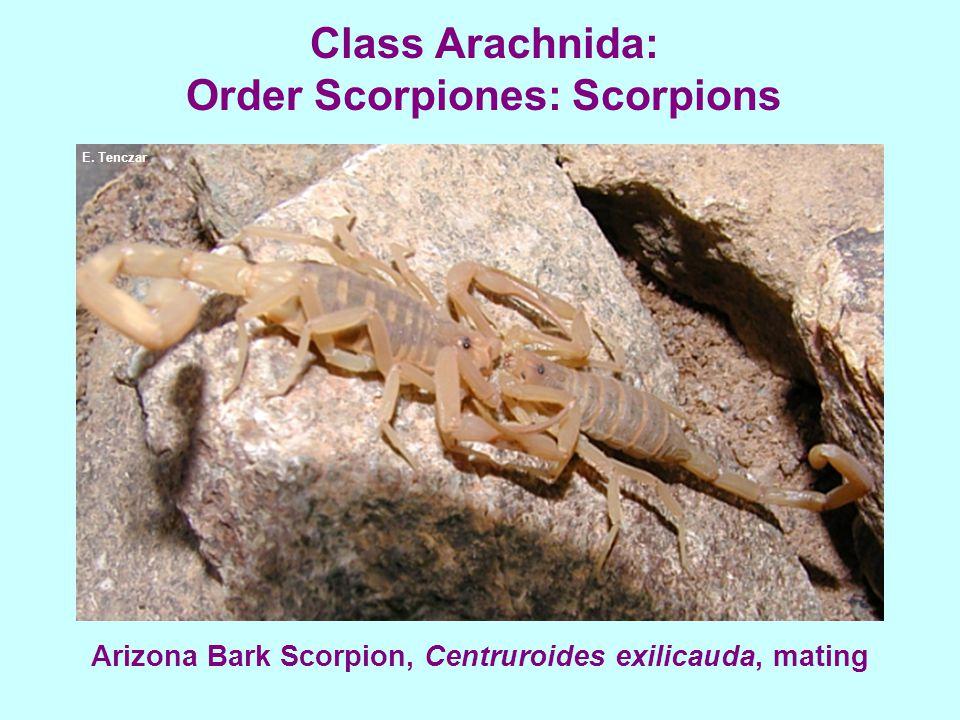 Class Arachnida: Order Scorpiones: Scorpions Arizona Bark Scorpion, Centruroides exilicauda, mating E. Tenczar