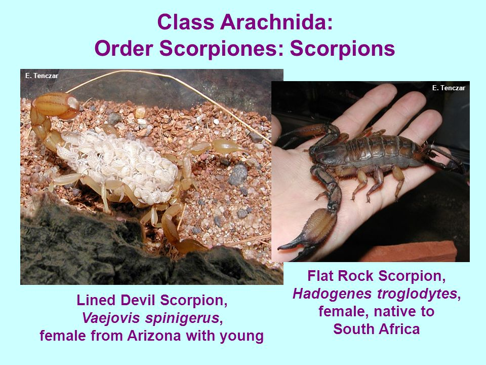 Class Arachnida: Order Scorpiones: Scorpions Lined Devil Scorpion, Vaejovis spinigerus, female from Arizona with young Flat Rock Scorpion, Hadogenes troglodytes, female, native to South Africa E.