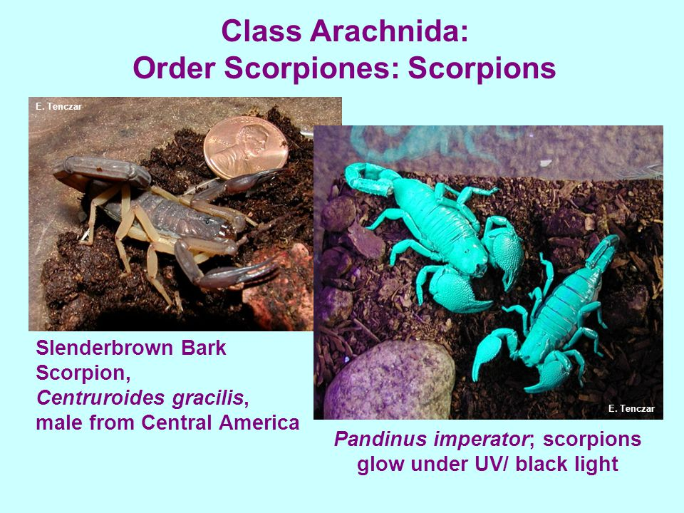 Class Arachnida: Order Scorpiones: Scorpions Slenderbrown Bark Scorpion, Centruroides gracilis, male from Central America Pandinus imperator; scorpion