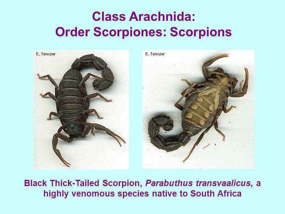 Class Arachnida: Order Scorpiones: Scorpions E. Tenczar Black Thick-Tailed Scorpion, Parabuthus transvaalicus, a highly venomous species native to Sou