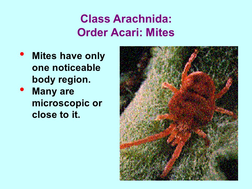 Mites have only one noticeable body region. Many are microscopic or close to it.