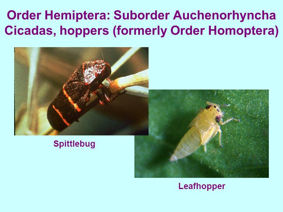 Order Hemiptera: Suborder Auchenorhyncha Cicadas, hoppers (formerly Order Homoptera) Spittlebug Leafhopper