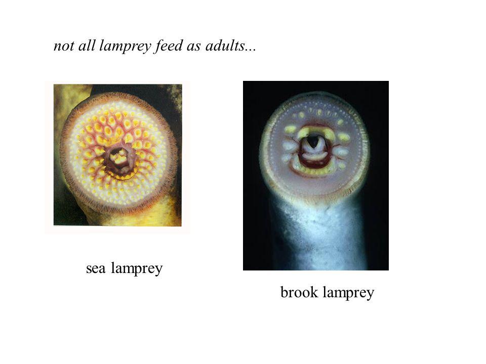 brook lamprey sea lamprey not all lamprey feed as adults...
