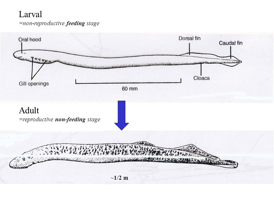 Larval =non-reproductive feeding stage ~1/2 m Adult =reproductive non-feeding stage