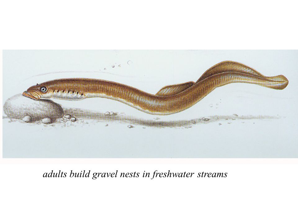 adults build gravel nests in freshwater streams