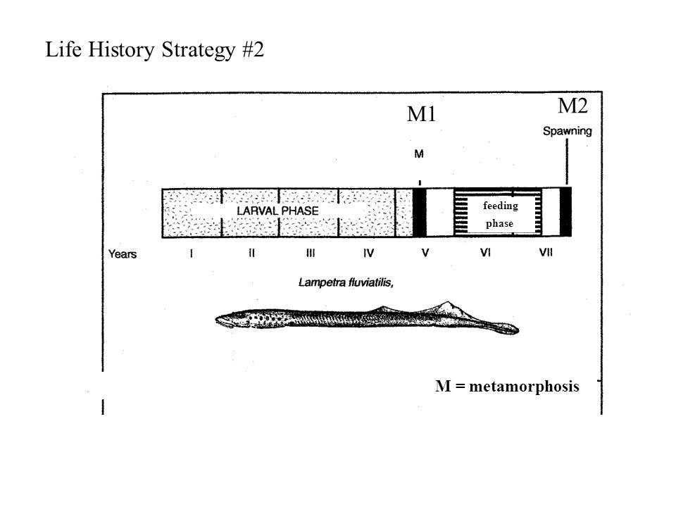 feeding phase Life History Strategy #2 M2 M1 M = metamorphosis
