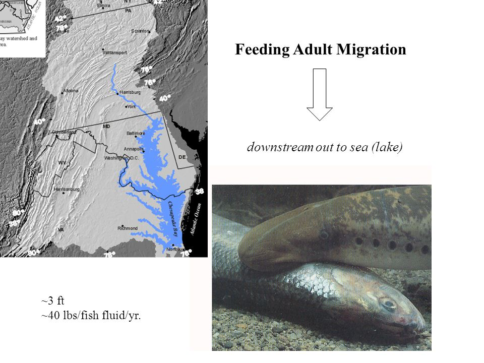 Feeding Adult Migration downstream out to sea (lake) ~3 ft ~40 lbs/fish fluid/yr.