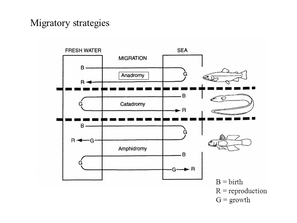 B = birth R = reproduction G = growth Migratory strategies