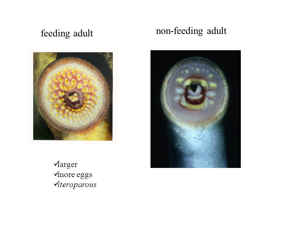non-feeding adult feeding adult larger more eggs iteroparous