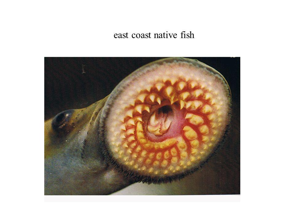 east coast native fish